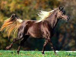 american quater horse